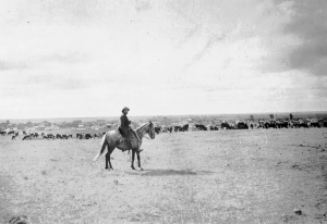 Cattle grazing just above the future CCI site. ca. 1900- image from Moose Jaw Public Library Archives